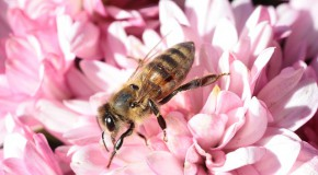 Pesticides – L'Europe au secours des abeilles ?